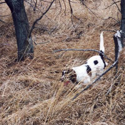 Image of Minnesota French Spaniel which provides dog boarding in or near Dodge Center, MN